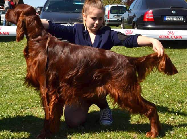 Berry - 20 hónapos ír szetter kan kutyakiállításon
