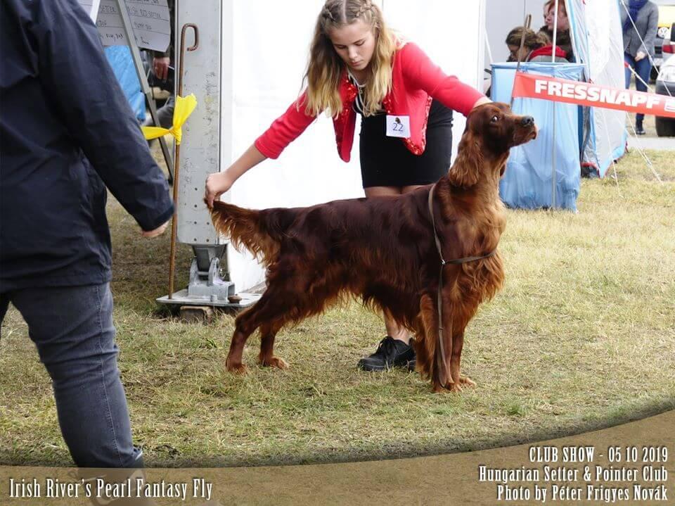 Irish Rivers Pearl ír szetter kan: komáromi kutyakiállításon