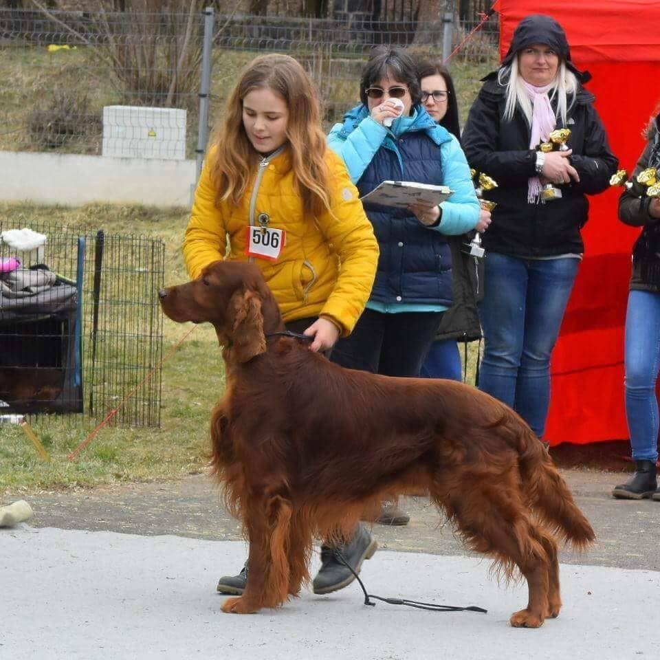 Glady - 7 éves ír szetter kan kutyakiállításon