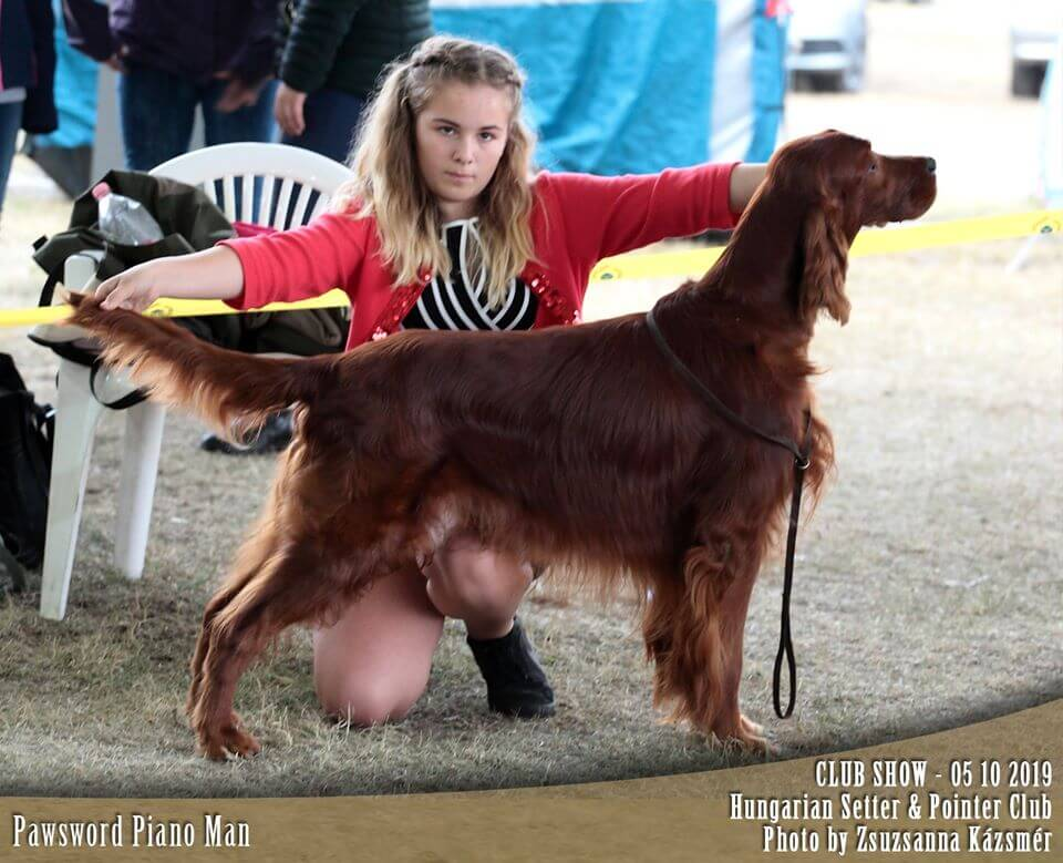 Ír szetter kan: komáromi kutyakiállításon