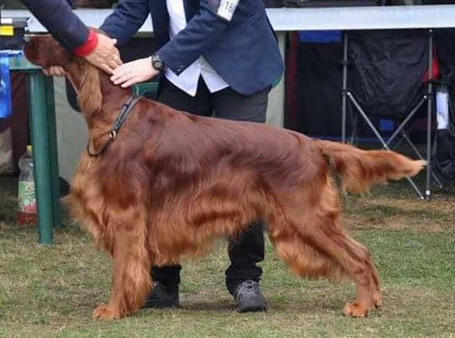Gordon - 3 évesen ír szetter kan kutyakiállításon