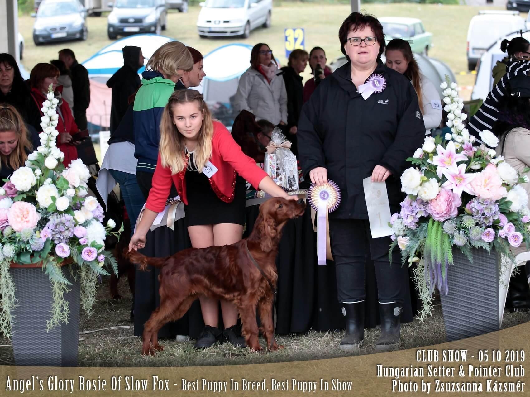 Ír szetter kölyök szuka: komáromi kutyakiállításon