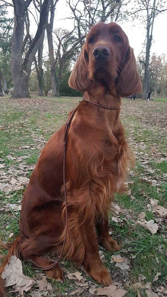 Sophie - ír szetter szuka - Békéscsabai kutyakiállításon